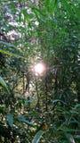 Бамбуковый лес с солнечным светом Стоковая Фотография RF