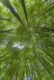 Бамбуковый зеленый цвет эффектной демонстрации леса в солнечности Стоковые Изображения
