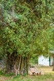 Бамбуковый куст в парке Стоковая Фотография RF