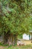 Бамбуковый куст в парке Стоковые Изображения RF