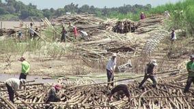 Бамбук, бамбуковый сплоток, бамбуковое черенок, отрезанный бамбук сток-видео