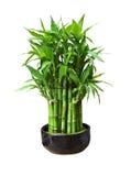 Бамбук в баке Стоковое Изображение