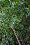 Бамбук в лесе облака Стоковое Фото
