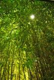Бамбук в солнце Стоковые Изображения