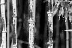 Бамбук в черной & белом Стоковая Фотография