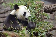 бамбук есть гигантскую панду Стоковая Фотография