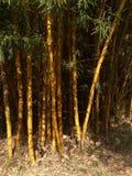 бамбук золотистый Стоковое Фото