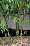 Бамбук и всход Стоковое Фото