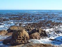 Бамбук моря (келп) Стоковое фото RF