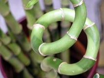 бамбук удачливейший стоковое фото