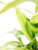 бамбук удачливейший Стоковое Изображение