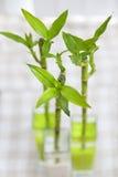 бамбук удачливейший Стоковые Фото