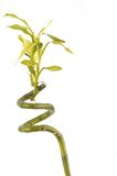 бамбук удачливейший Стоковое фото RF
