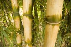 бамбук Стоковое Изображение RF