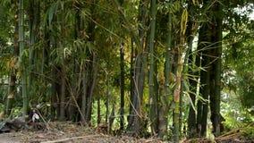 Бамбук сток-видео