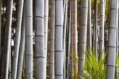 Бамбук forrest Стоковое Фото