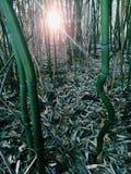 Бамбук forrest Стоковые Изображения RF