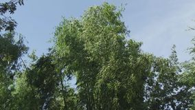 Бамбук, treer, Камбоджа, Юго-Восточная Азия видеоматериал
