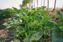 Бамия, принося плоды овощ стоковое фото