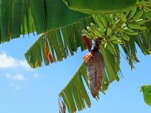 Банановое дерево с цветением банана и голубым небом стоковые фотографии rf