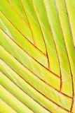 банановое дерево Стоковая Фотография
