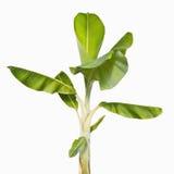 банановое дерево стоковое изображение