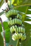 Банановое дерево Стоковые Фотографии RF
