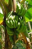банановое дерево Стоковое Изображение RF
