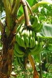 банановое дерево Стоковые Фото