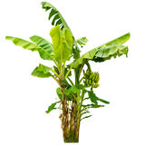 Банановое дерево изолированное на белой предпосылке Стоковое Изображение RF