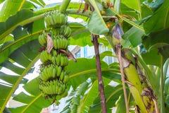 Банановое дерево имеет пук бананов с свежими зелеными листьями i Стоковая Фотография RF