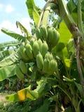 Банановое дерево и плодоовощи Стоковые Изображения