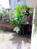 Банановое дерево младенца в Индии Стоковое Изображение RF
