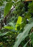 Банановое дерево с большим сбором зеленых бананов Стоковые Изображения