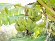 Банановое дерево с пуком зеленого цвета Стоковое фото RF