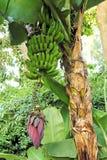 Банановое дерево с плодоовощами Стоковое Изображение