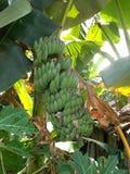Банановое дерево - 7 Стоковые Фотографии RF