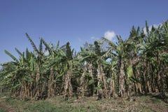 Банановые дерева в банане обрабатывают землю с голубым небом Стоковое Изображение RF