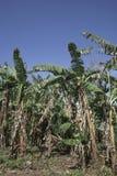 Банановые дерева в банане обрабатывают землю с голубым небом Стоковая Фотография RF