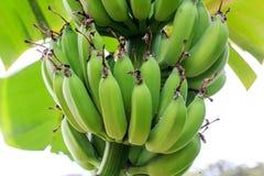 Банановые дерева в саде Стоковое Изображение RF