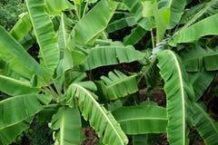 Банановые дерева в взгляд сверху текстуры джунглей Стоковая Фотография