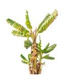 Банановые дерева, тропическое дерево изолированное на белизне Стоковое фото RF