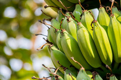 Бананы в солнечном свете с предпосылкой bogeh Стоковая Фотография