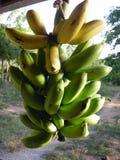 Бананы зрея Стоковое Изображение RF