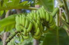 Бананы на зеленом цвете ветви Стоковая Фотография