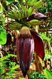 Бананы растут подорожник Стоковые Изображения RF