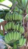 Бананы Bundke сырцовые на дереве, Hadyai, Songkhla, Таиланде стоковые фотографии rf