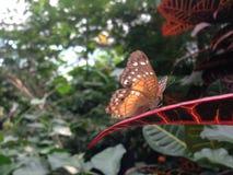 Банан бабочки на лист Стоковое Изображение