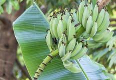 Банан в природе Стоковое Изображение RF