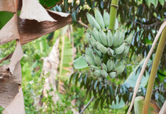 Банан в природе Стоковые Изображения RF
